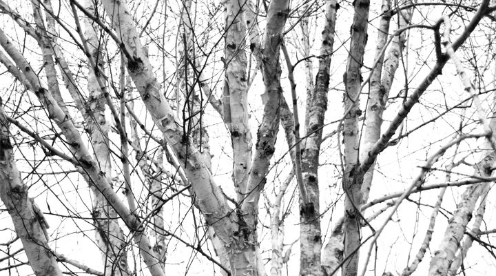 Birch tree trunks in the winter